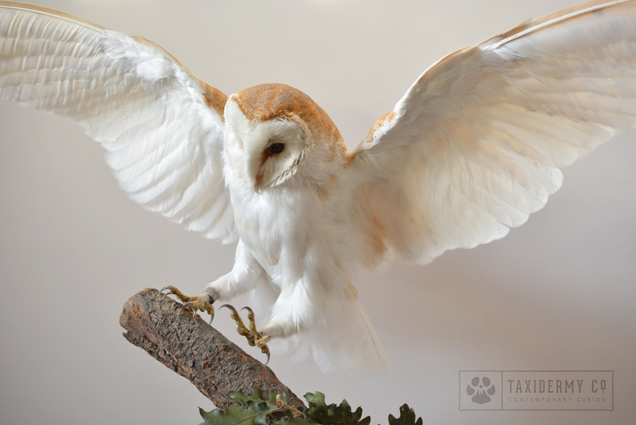 taxidermy flying barn owl