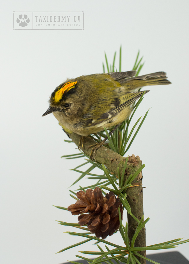 Taxidermy-Goldcrest Small Bird