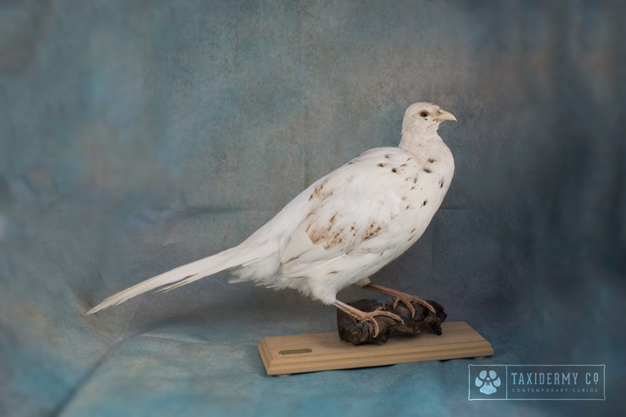 White Hen Pheasant Taxidermy