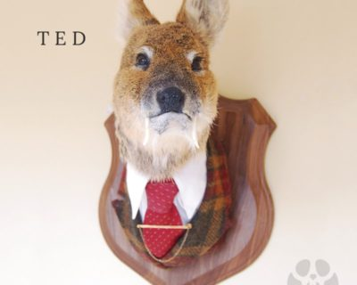 Ted – Taxidermy Chinese Water Deer Shoulder Mount