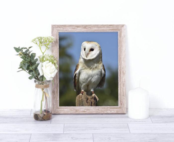 Barn Owl Wildlife Photo Print