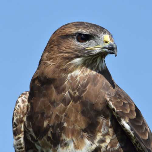 Buzzard Wildlife Photography Print