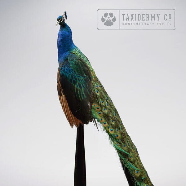 Taxidermy Peacock-Preview