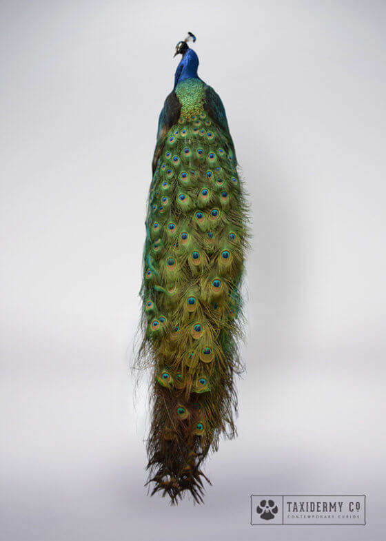 Taxidermy Peacock For Sale
