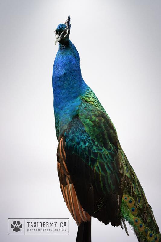 Black Shouldered Peacock