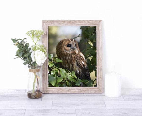 Tawny Owl Wildlife Photography Print