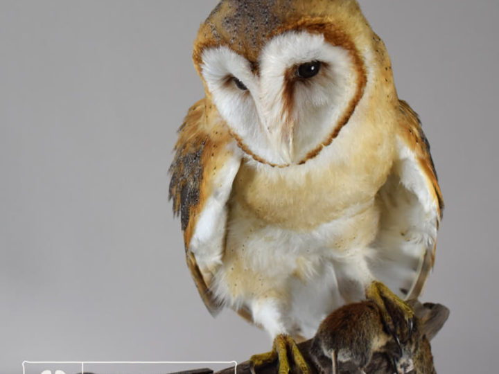 Taxidermy Barn Owl Installation