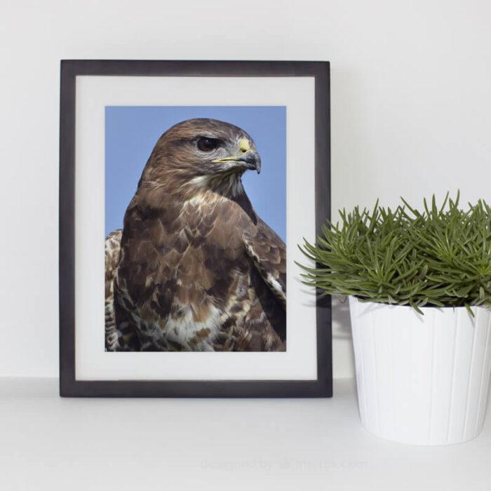 Buzzard Wildlife Print