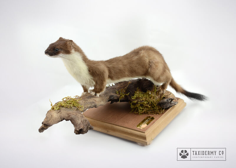 Taxidermy Stoat