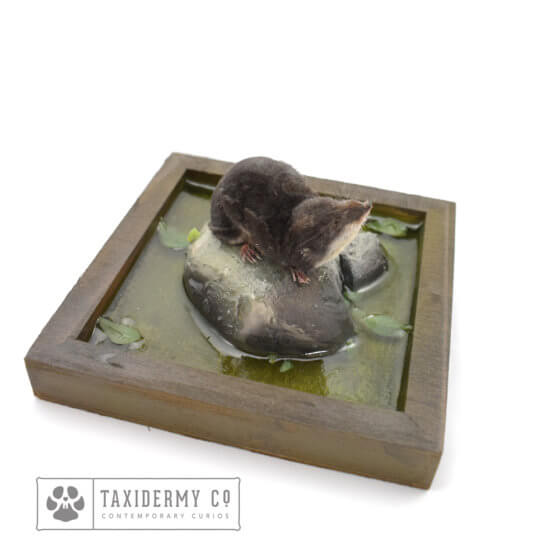 Taxidermy Water Shrew