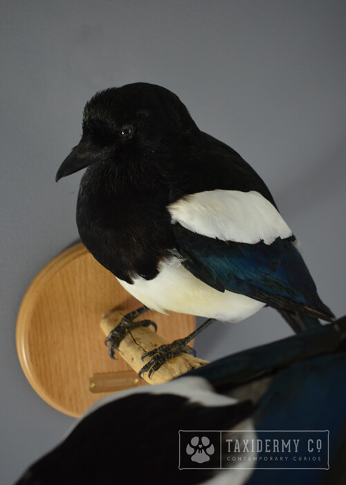 Taxidermy Magpies Pair Wall Mount
