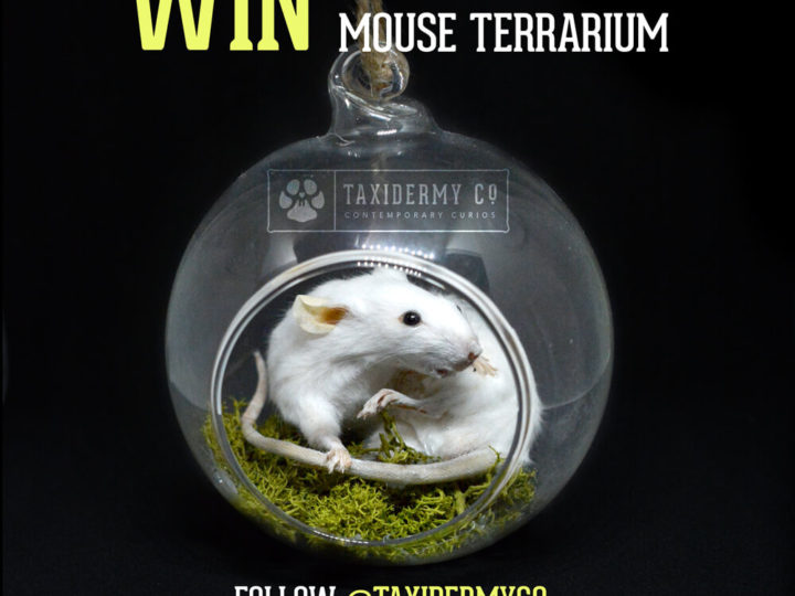 Instagram Giveaway Competition – Win A Taxidermy Mouse Terrarium!
