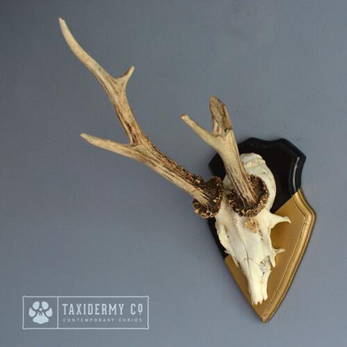 Roe Buck Deer Antlers