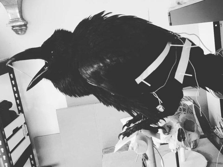 Taxidermy Raven Project (Corvus corax)