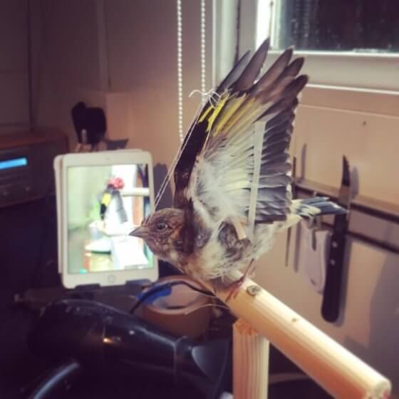 Taxidermy Goldfinch Process