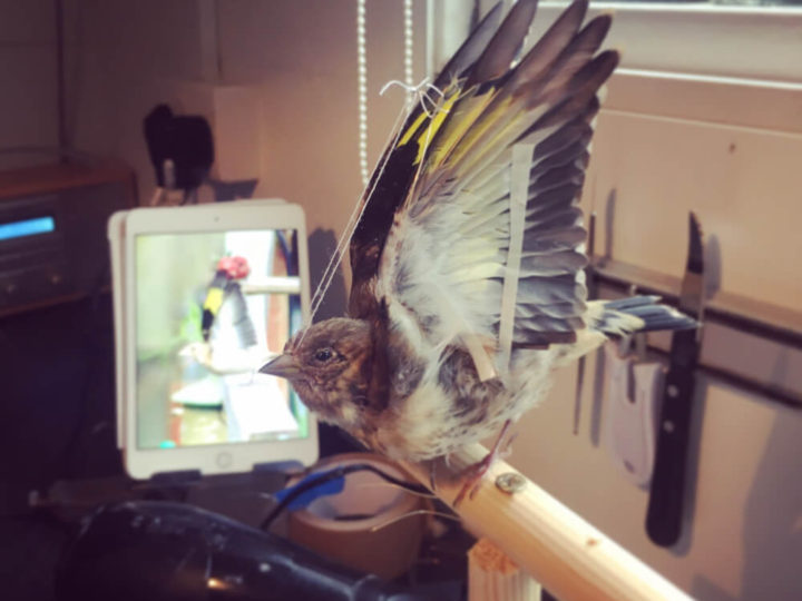 Juvenile Goldfinch Taxidermy Commission
