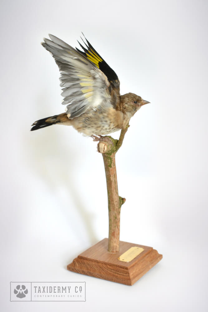Taxidermy Juv.-Goldfinch