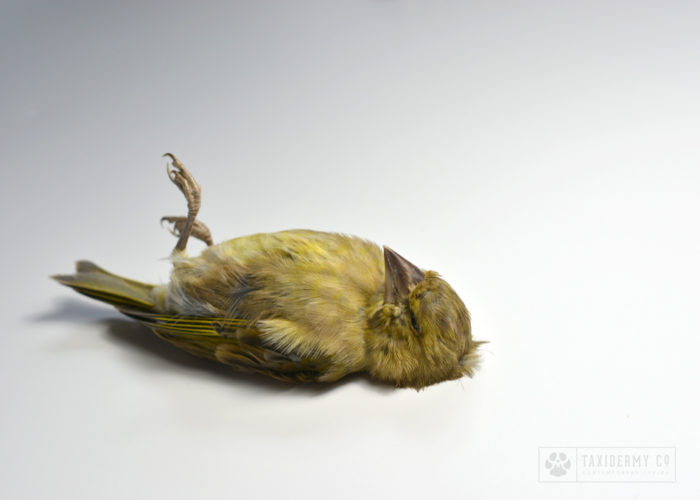 Taxidermy Dead Mount Greenfinch
