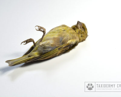 Taxidermy Dead Mount Greenfinch