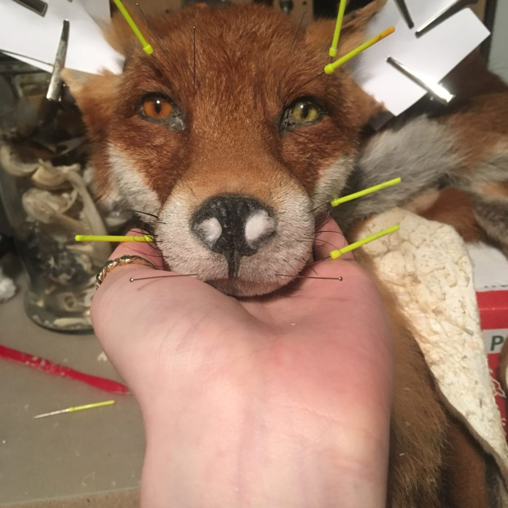 Taxidermy Process Dry Tan