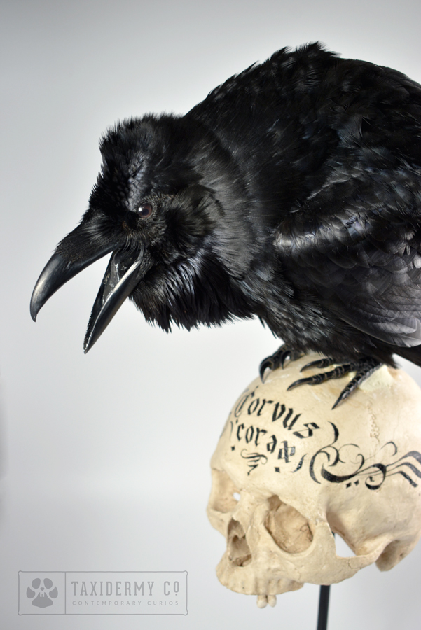 Taxidermy Common Raven For Sale