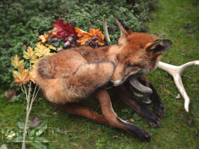 Taxidermy Soft Mount Fox – 2nd Edition!