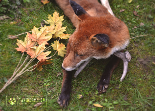 Taxidermy Soft Mount Red Fox