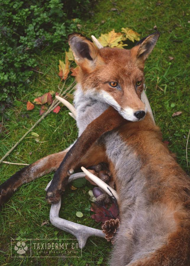 Soft Mount Red Fox