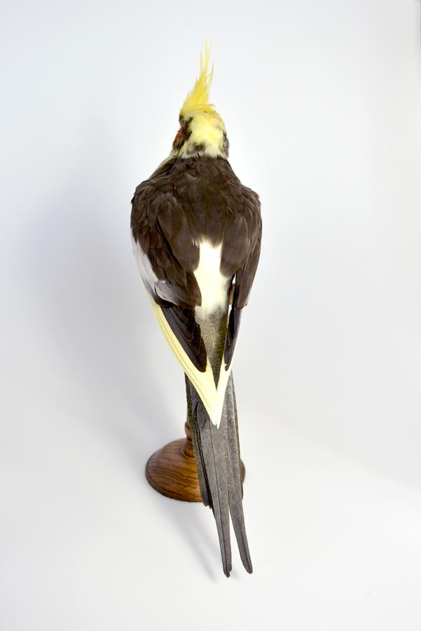 Taxidermy Bird Cockatiel