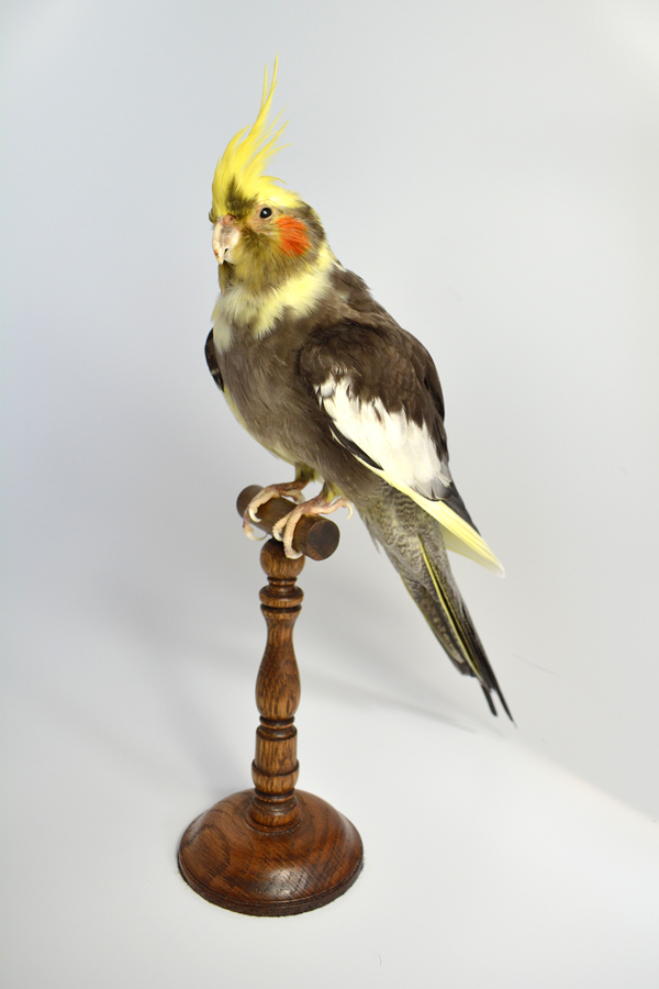 Taxidermy Bird Cockatiel UK