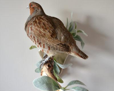 Taxidermy Grey Partridge