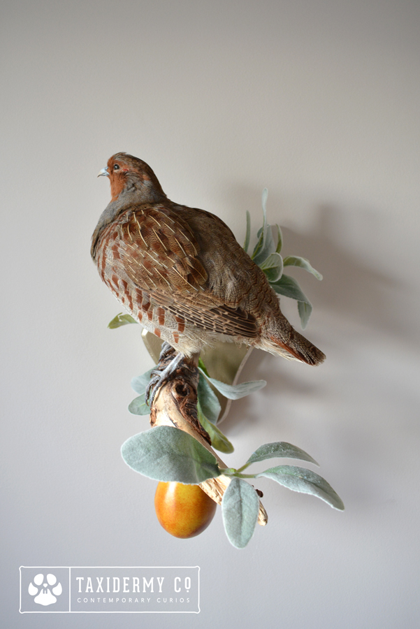 Taxidermy Grey Partridge