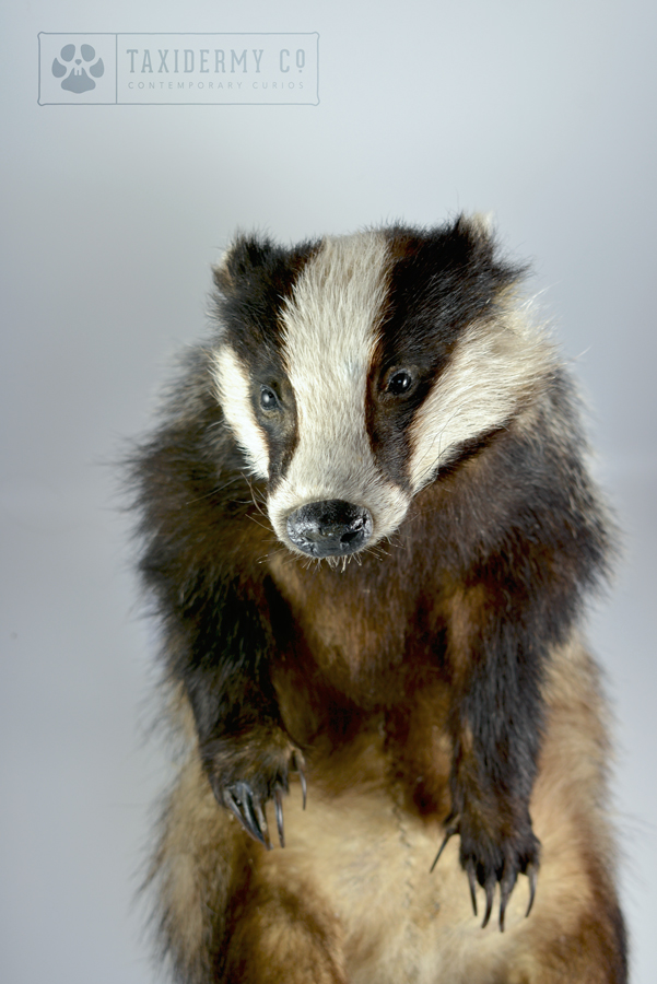 Taxidermy Badger