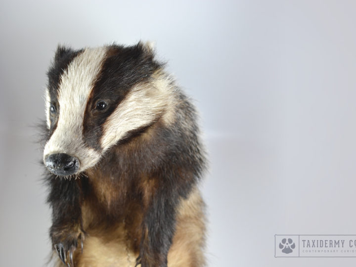 Taxidermy Badger Commission