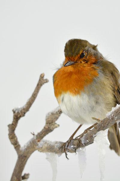 Taxidermy Robin European