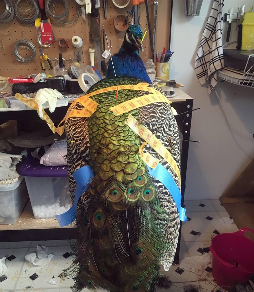 Taxidermy Peacock Progress