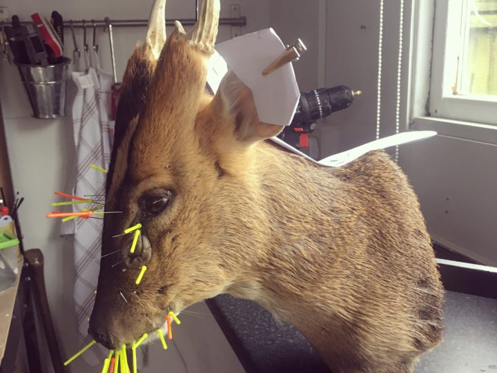 Taxidermy Muntjac Shoulder Mount