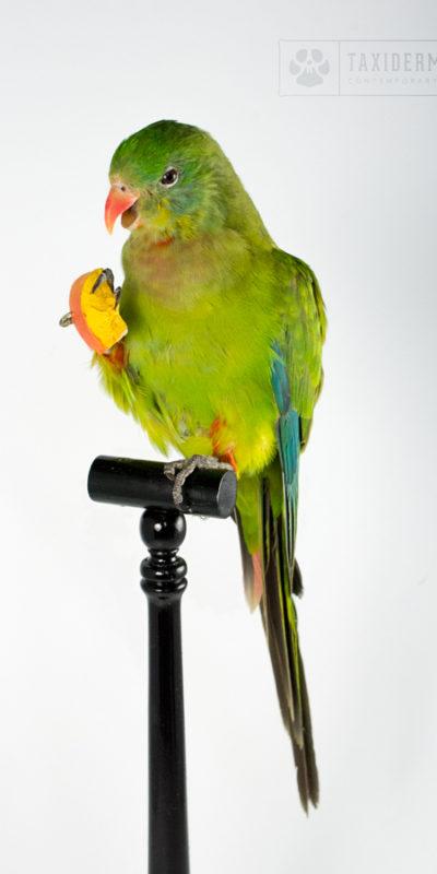 Taxidermy Parakeet