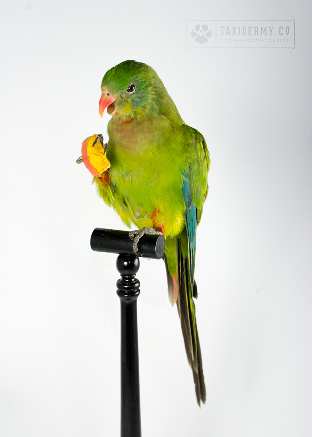Taxidermy Parakeet
