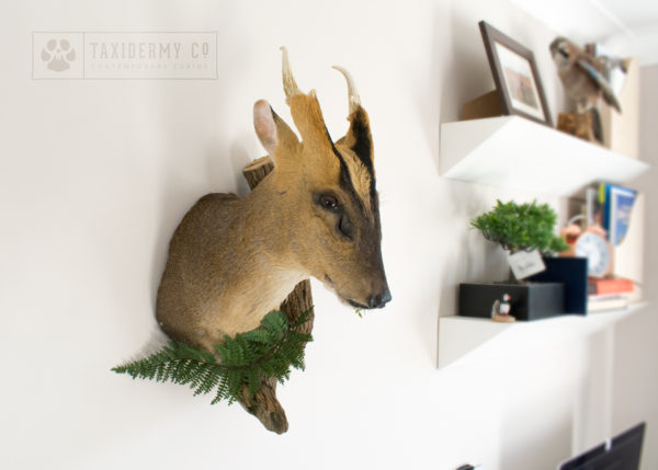 Taxidermy Muntjac