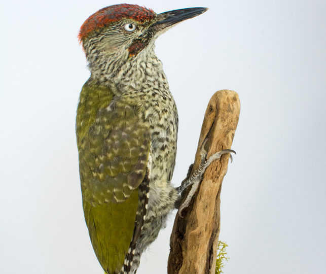 Taxidermy Green Woodpecker (Juvenile)
