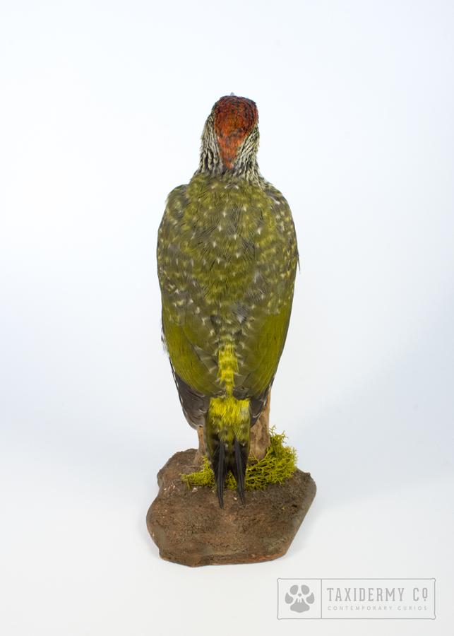 image of Picus viridis taxidermy green woodpecker