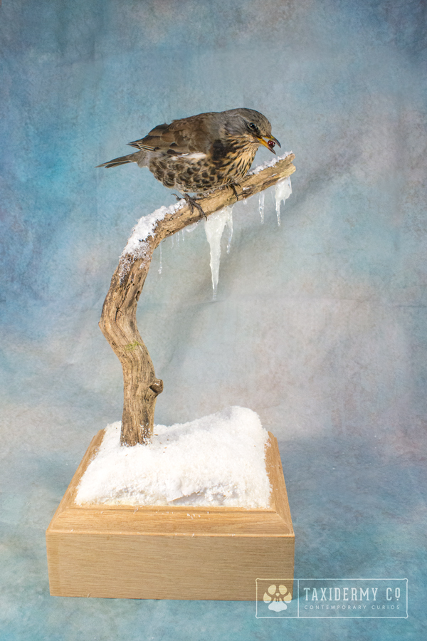 Taxidermy Fieldfare on a Winter Habitat