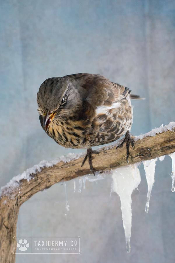 Taxidermy Fieldfare on a Winter Habitat