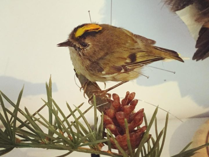The Biggest Smallest Challenge! – Taxidermy Goldcrest