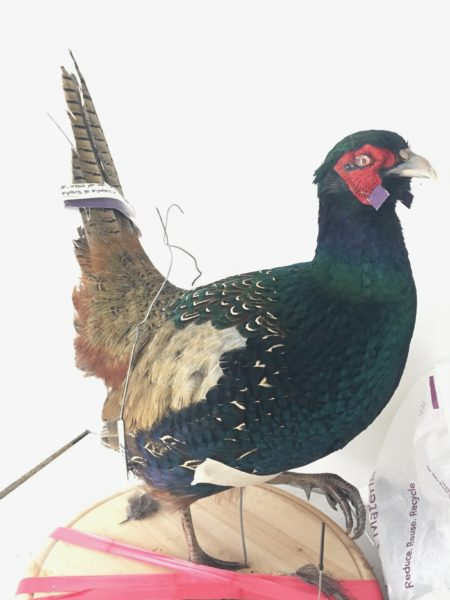 Melanistic Black Pheasant Taxidermy