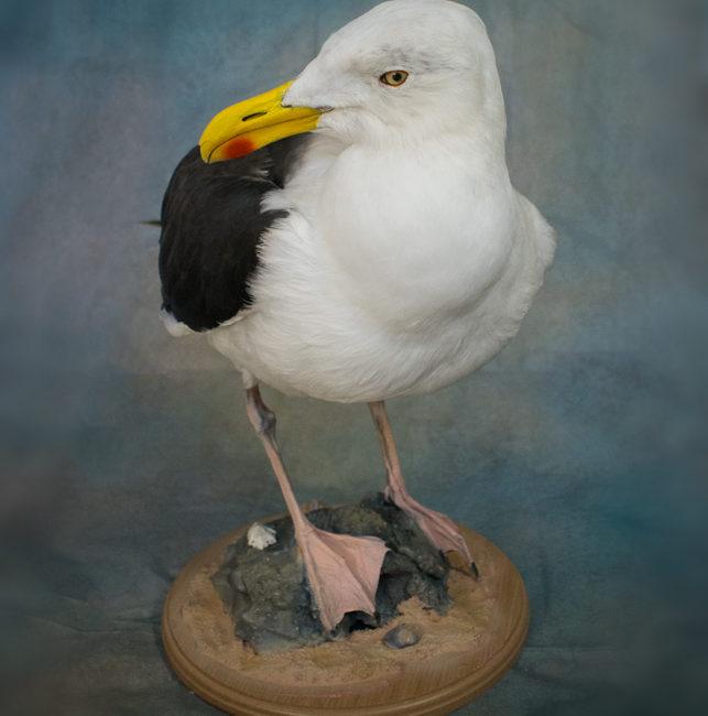 Taxidermy Great Black Backed Gull
