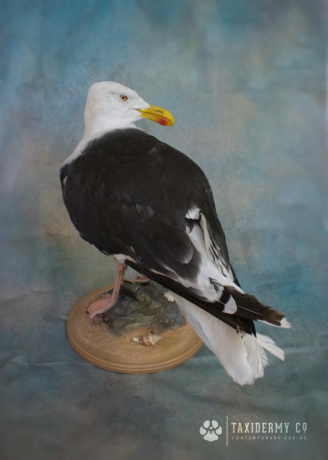Taxidermy Seagull
