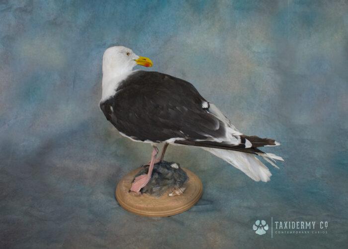Taxidermy Seagull Larus Marinus