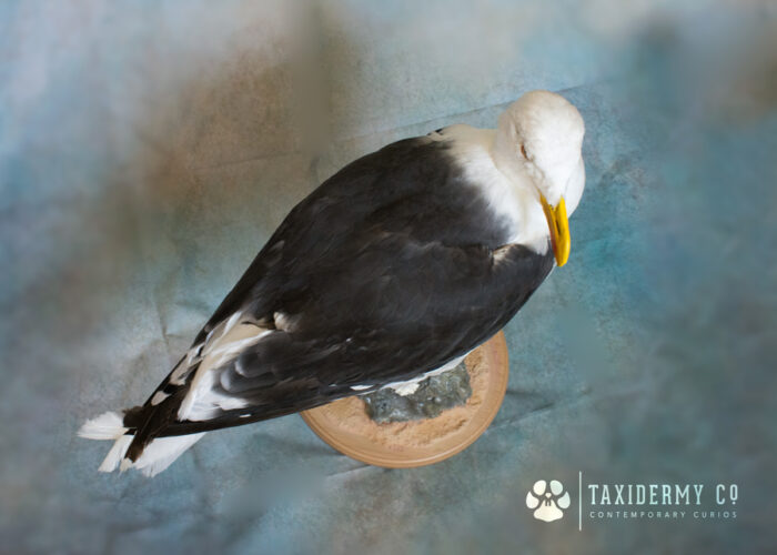 Taxidermy Great Black Backed Gull